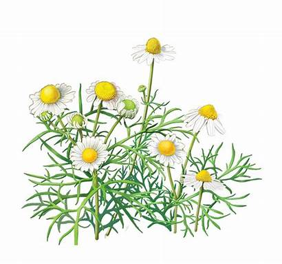Clipart Chamomile Camomile Flower Clipground