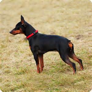 pinscher miniature breeds purina australia