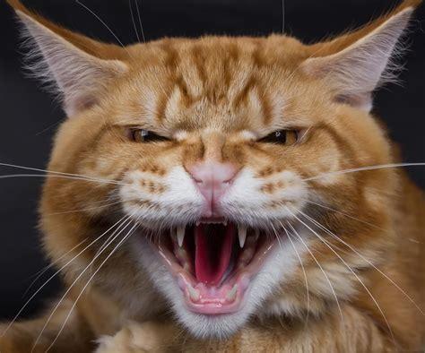 koerpersprache   mir meine katze sagen mainecoon