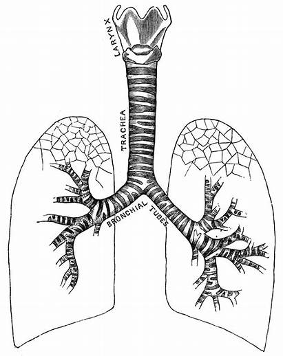 Respiratory System Clipart Coloring Anatomy Clip Therapy