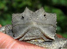 Reptiles & Amphibians Sky Island Alliance