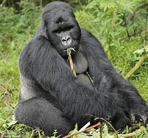 婆罗洲猩猩_银背大猩猩_红毛猩猩_淘宝助理