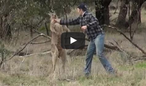 man  punched kangaroo  save  dog risked  life