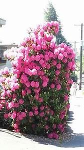 Zwergflieder Auf Stamm : hibiscus tree 39 lavender chiffon 39 on sale for only ~ Lizthompson.info Haus und Dekorationen