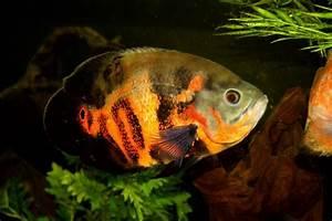 Oscar Fish Pictures [Slideshow]