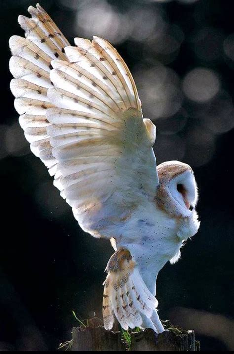 owls images  pinterest owls barn owls