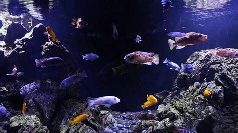 Cichlid Aquascape by Lynch S Malawi Cichlid Aquascape