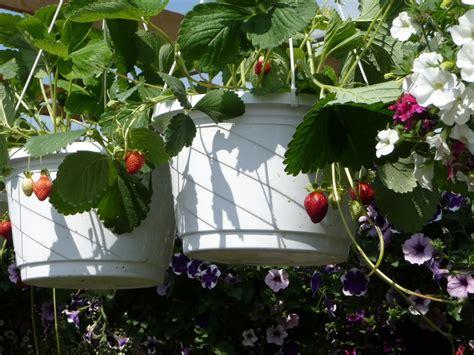fraisiers en pots suspendus 28 images sac jardini 232 re avec 15 fraisiers fruits l 233