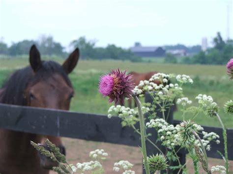 horses weeds pasture horse weed plants toxic controlling invasive noxious species poisonous nuisance plant grasses kill identification pastures pa killer