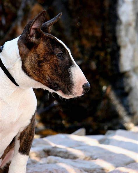 bull terrier colors handsomedogs bull terrier colors