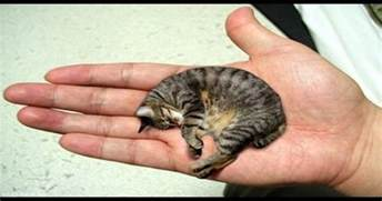 guinness world record for the smallest cat in the world