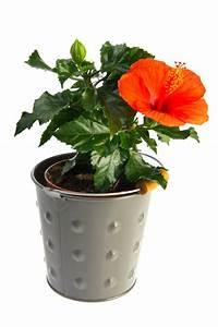 Hibiskus Pflege Zimmerpflanze : hibiskus vermehren so klappt 39 s mit samen stecklingen mehr ~ A.2002-acura-tl-radio.info Haus und Dekorationen