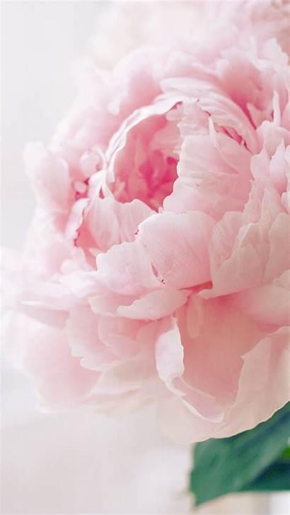 Peony Wallpapers Pink Iphone Ipad Macro Bloomy