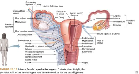 Internal Female Anatomy Pictures - koibana.info | Female ...