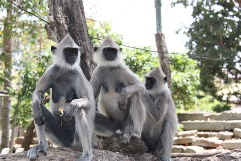 Le Langur Gris - Mon Voyage au Sri Lanka