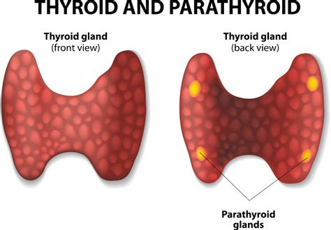 parathyroid glands located thyroid and parathyroid otolaryngology specialists of