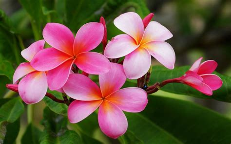 Plumeria Hawaiian Flowers Flowers With Reddish Pink And White With Yellow Orange Color Hd