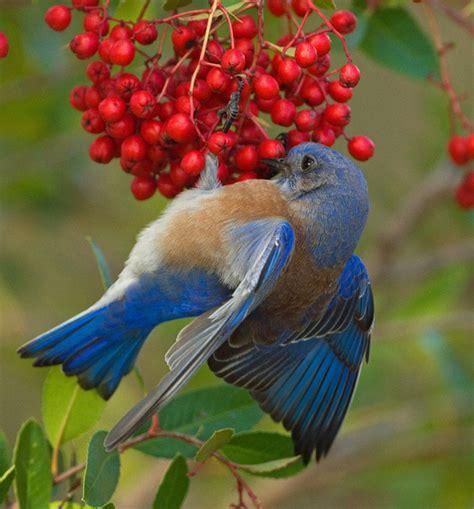 western bluebird bird red berries winter food