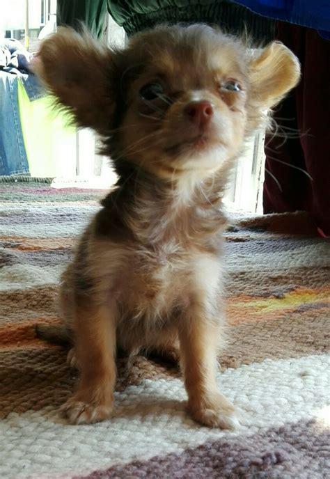 chihuahua de pelo largo mexico cortes de pelo  estilo