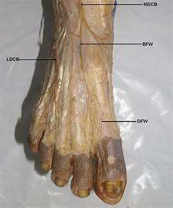 Dissection Of The Dorsum Of The Foot Illustrating The