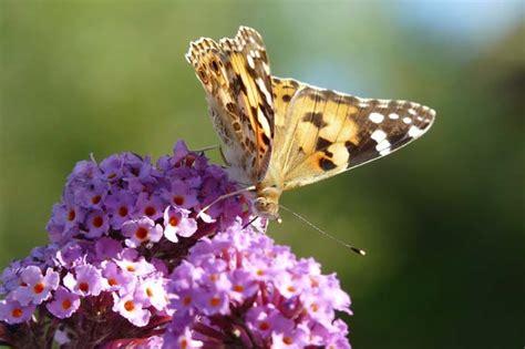 Garten Pflanzen Schmetterlinge by Schmetterlings Garten Nabu Bw