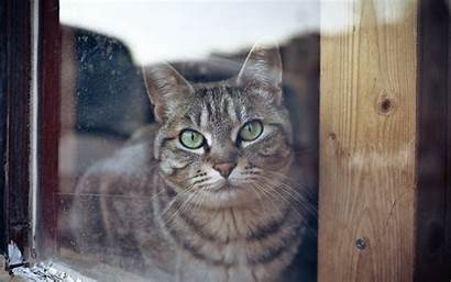 Shorthair Domestic Cat Resolution