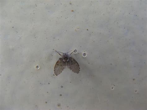 what causes drain flies in bathroom drain fly drain moth budget pest