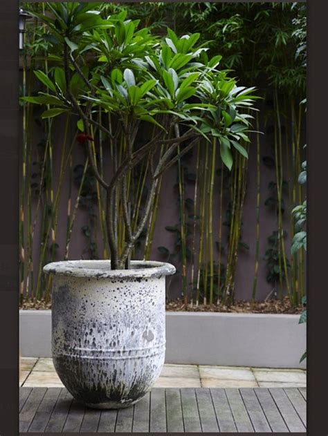 frangipani care in pots 25 best ideas about plumeria tree on pretty flowers florida landscaping and