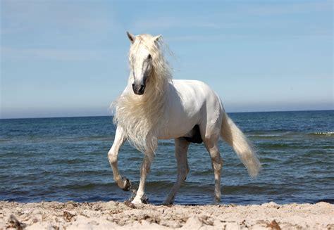 horse definition andalusian desktop wallpapers cool caballo widescreen blanco