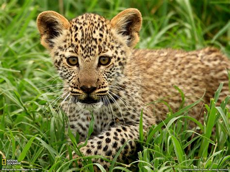 Leopard Cub, Tanzania  National Geographic Daily Photo