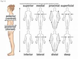 Anatomical Directions Medial Lateral