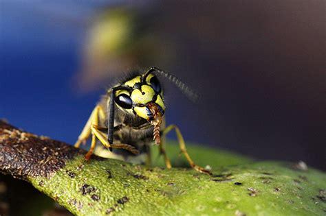 plötzlich pilze im garten wie viele wespen sind in einem nest insektenkiller