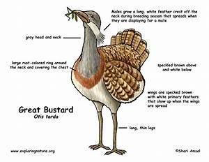 Bustard  Great