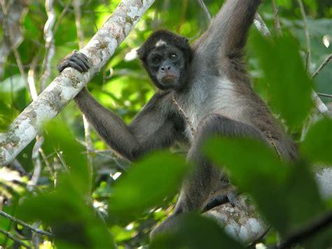 amazon rainforests animals  spider monkey amazon