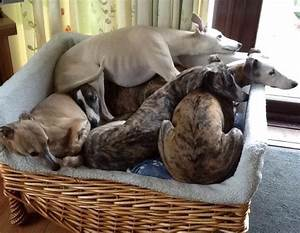 148 best images about greyhounds on pinterest With best dog beds for greyhounds