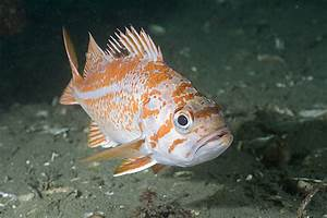 Pictures of Canary Rockfish - Sebastes melanops images