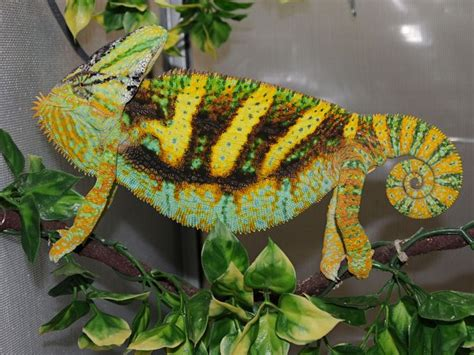 veiled chameleon changing colors orange sunburst veiled chameleon veiled chameleon