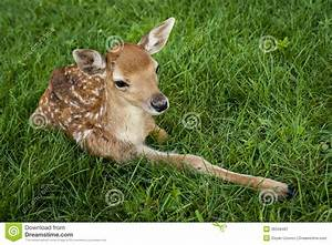 Baby White-tailed Deer Royalty Free Stock Photography ...