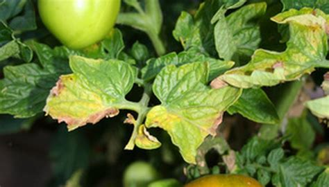 tomato leaves plants rust yellow spots disease causes soap shield control pest diseases fotolia whitefly garden fungal cutworms