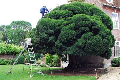 Ivy Topiary Care