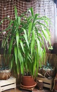 Yucca Palme Pflege : die besten 25 yucca palme ideen auf pinterest yucca pflanze zimmerpflanze palme und yucca ~ Eleganceandgraceweddings.com Haus und Dekorationen