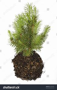 Gallery For > Pine Tree Seedlings