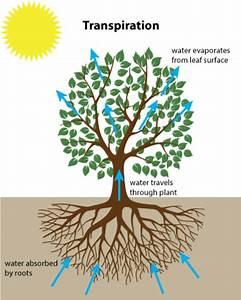 Transpiration Diagram