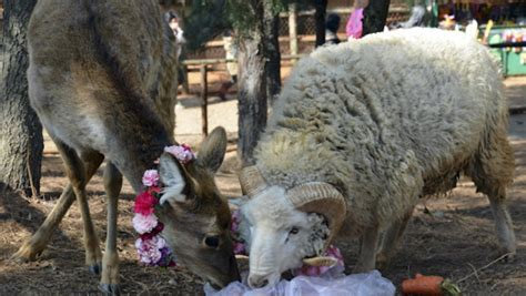Ram Deer Wedding On Valentines Day At China Zoo Photos