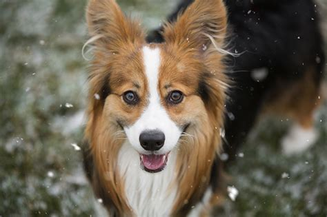 Cardigan Welsh Corgi Traits