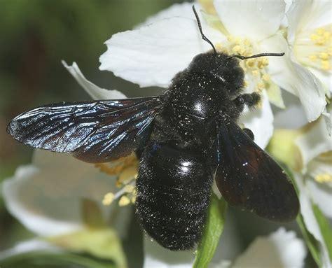 holzbiene xylocopa violacea