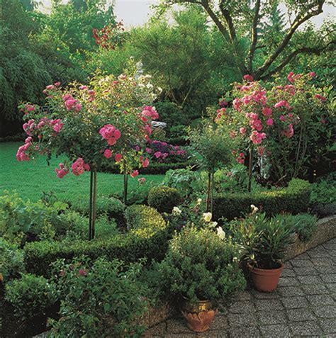 rosier tige ou rosier boule en pot d 233 coratif roses guillot