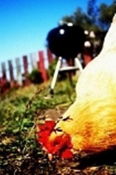 volatili da cortile allevamento polli galline caratteristiche dell