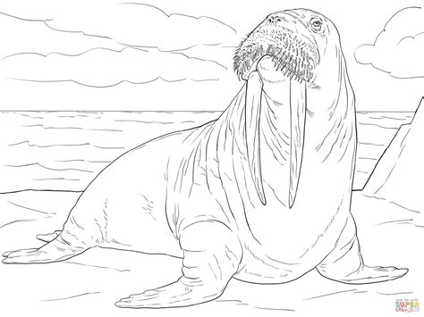 adult male walrus coloring page  printable coloring pages