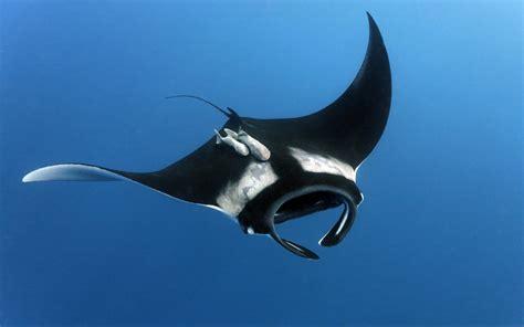 manta rays hd wallpapers desktop  mobile images